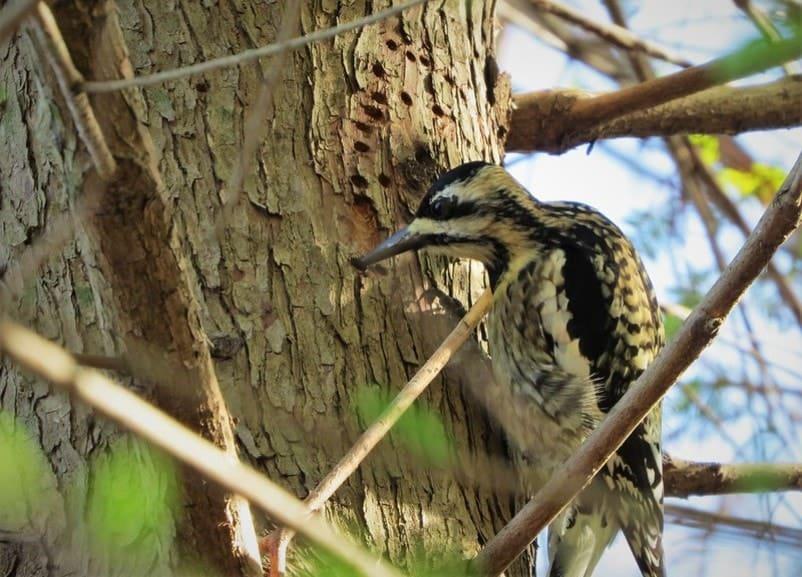 yellow-bellied woodpecker making holes in a tree