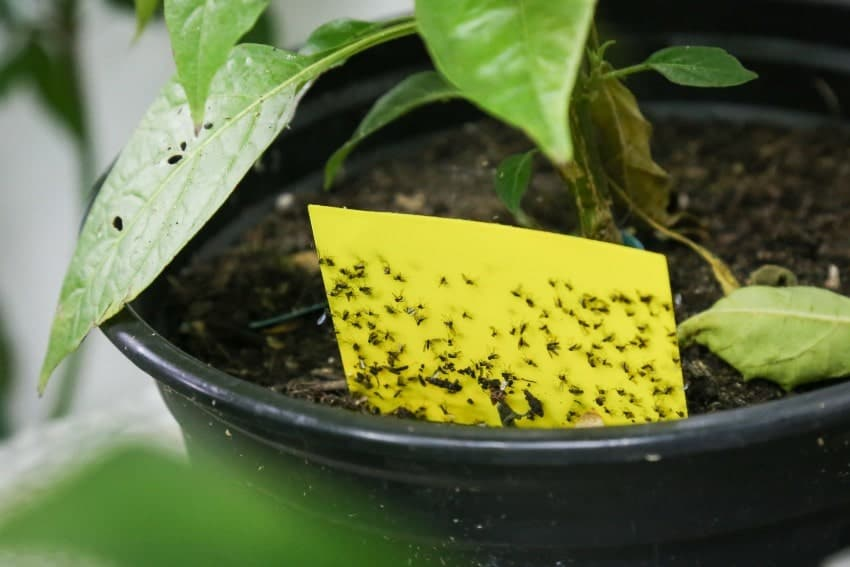 yellow sticky tape for insects