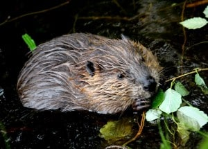 young beaver is eating leaves